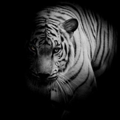 Poster Tigre branco isolado no fundo preto