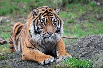Poster Tigre de Sumatra