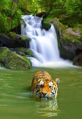 Poster Tigre Siberian na água