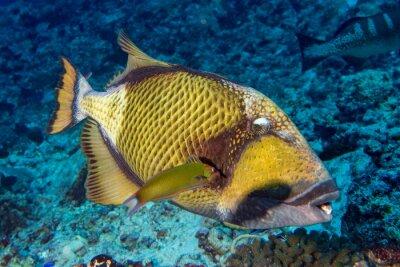 Poster Titan trigger fish em Maldivas