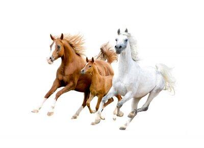 Poster Três cavalos árabes isolado no branco