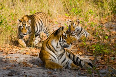 Poster Três tigres selvagens na selva. Índia. Bandhavgarh National Park. Madhya Pradesh. Uma excelente ilustração.