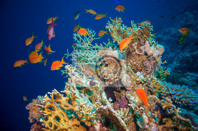 Poster Tropical Anthias fish with net fire corals