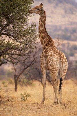 Poster Um grande girafa comer as folhas de uma árvore