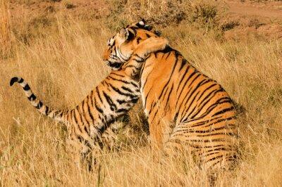 Poster Um momento afetuoso entre um tigre de Bengala e seu filhote
