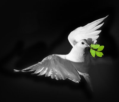 Poster Um pombo branco