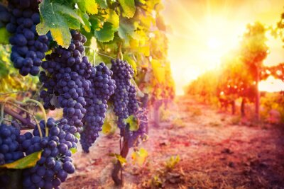 Poster vineyard with ripe grapes in countryside at sunset