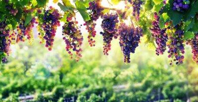 Poster Viticultura A Sun que amadurece as uvas