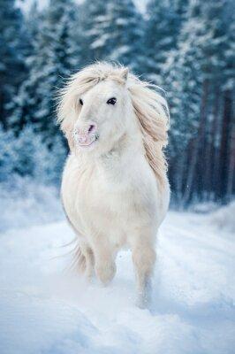 Poster White shetland pônei correndo na neve no inverno