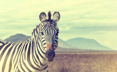 Poster Zebra africana selvagem. Efeito vintage