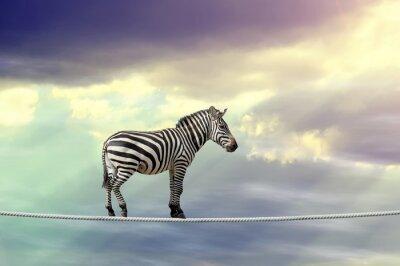 Poster Zebra andando em uma corda