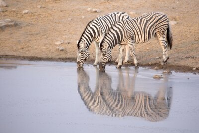 Poster Zebra, bebendo, água, buraco