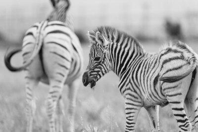 Poster Zebra do bebê