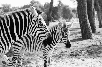 Poster Zebra em Safari em Tel-Aviv