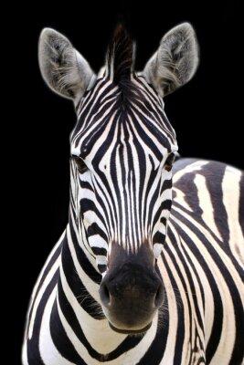 Poster Zebra isolated on black