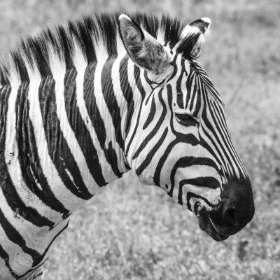 Poster Zebra no parque nacional. África, Quénia