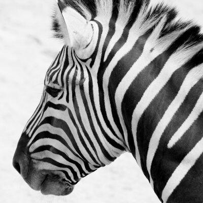 Poster Zebra preto e branco
