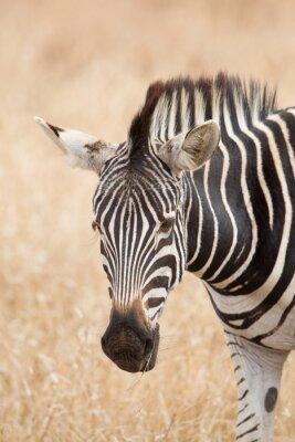 Poster Zebra, Retrato, Kruger, parque, África do Sul