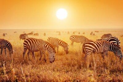 Poster Zebras rebanho no Africano savana ao pôr do sol.