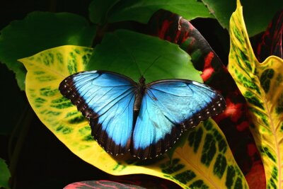 Quadro A consideravelmente azuis terras borboleta morfo nos jardins da borboleta.