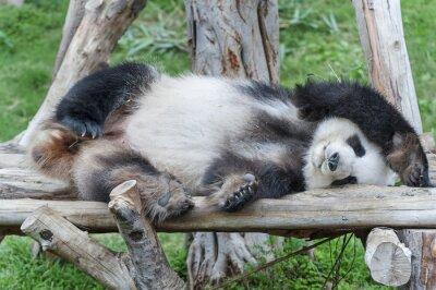 Quadro A dormindo urso panda gigante