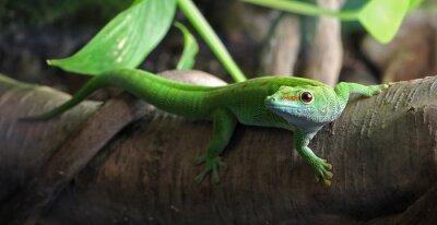 Quadro A Gecko verde, empoleirado em uma filial