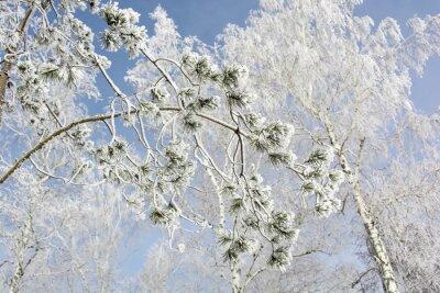 Quadro Abeto, árvore, ramo, inverno, floresta