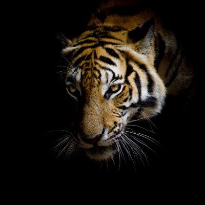 Quadro acima da cara do tigre isolado no fundo preto