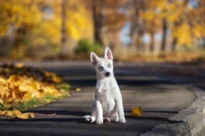 Quadro Adorável, siberian, husky, Filhote cachorro, sentando, Ao ar livre, Outono