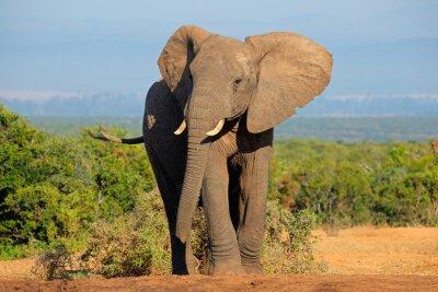 Quadro African elephant, Addo Elephant National Park