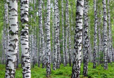 Quadro agradável floresta do vidoeiro verão