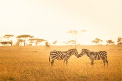 Quadro Amor da zebra no Serengeti