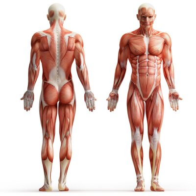Quadro Anatomia, músculos
