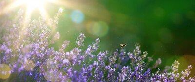 Quadro arte verão ou primavera belo jardim com flores de lavanda