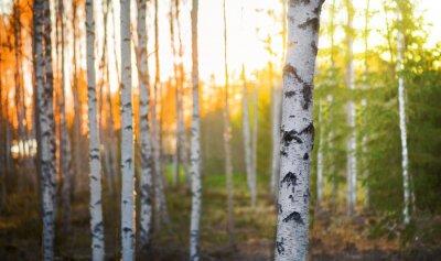Quadro Árvore de vidoeiro no por do sol