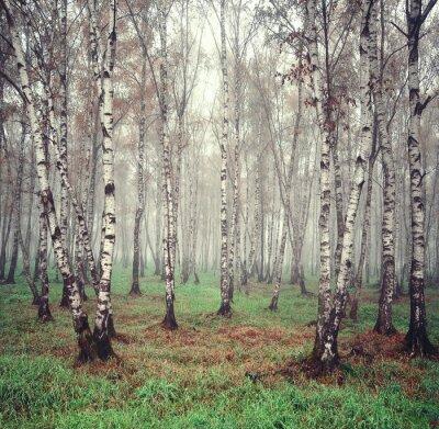 Quadro Árvores de vidoeiro na névoa