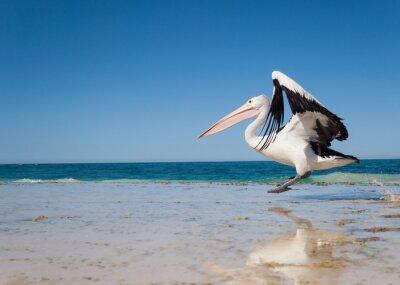 Quadro Austrália, lagoa de Yanchep, 18/4/2013, pelicano australiano que descola no vôo de uma praia australiana