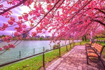 Quadro Bancos sob cerejeiras em plena floração durante Hanami ao longo da Lagoa Shinobazu no Parque Ueno, um parque perto da Estação Ueno, no centro de Tóquio. O Parque Ueno é considerado o melhor local em T