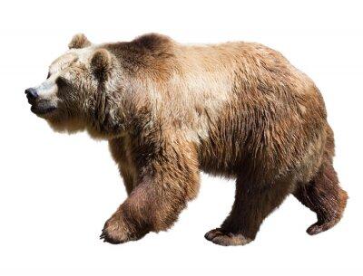 Quadro Bear. Isolado sobre o branco