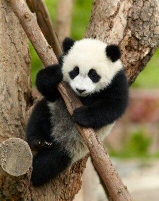 Quadro Bebê panda gigante sobre a árvore