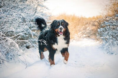 Quadro Bernese, montanha, cão, passeio, Inverno
