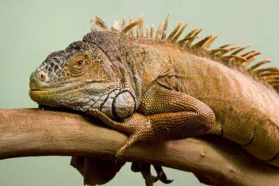 Quadro Big lagarto dormir no ramo close-up, fundo isolado