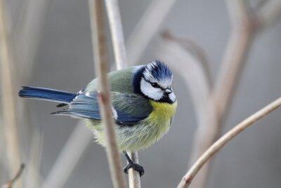 Quadro Blue Tit (Parus caeruleus)