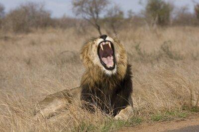 Quadro bocejar leão macho selvagem no mato