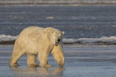Quadro Bocejar, polar, urso, andar, gelo