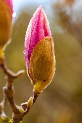 Quadro Botão de flor cor-de-rosa da magnólia com pingos de chuva. Feche acima da vista com borrão do fundo