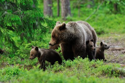 Quadro Brown bear with cubs in the forest