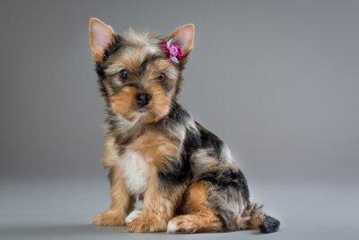 Quadro Cachorro Yorkshire terrier