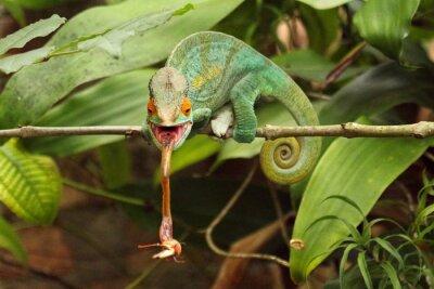 Quadro Camaleão em Madagáscar