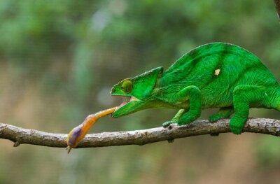 Quadro Camaleão no inseto da caça. Camaleão de língua longa. Madagáscar. Uma excelente ilustração. Fechar-se.